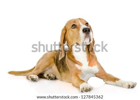 Beagle dog looking up. isolated on white background - stock photo