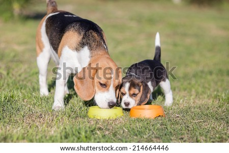 Beagle dog mother with puppy - stock photo