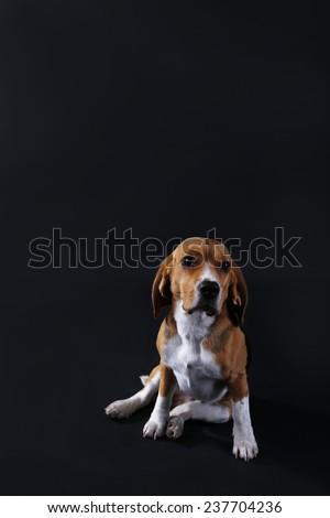 Beagle dog on dark background - stock photo