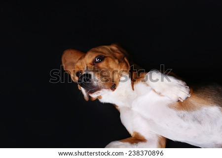 Beagle dog on dark background