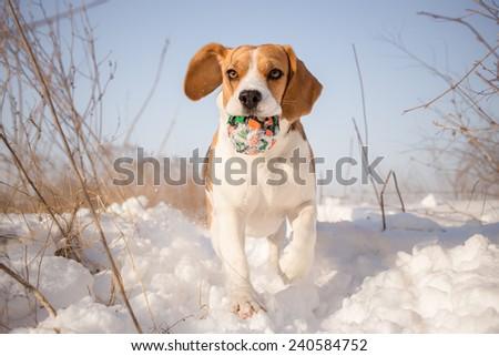 Beagle dog playing with ball - stock photo