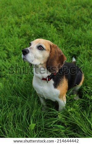 beagle, dog portrait (in the park, on a grass)