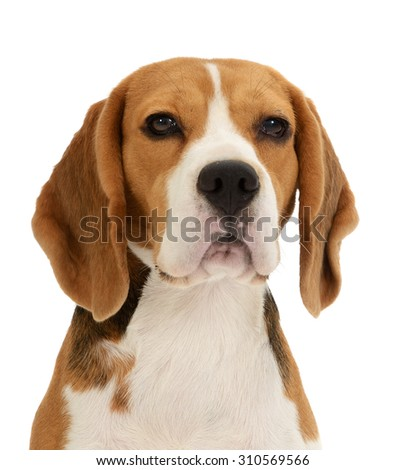 Beagle dog portrait,  isolated on white background