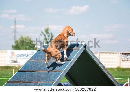 Beagle dog running in agility - stock photo