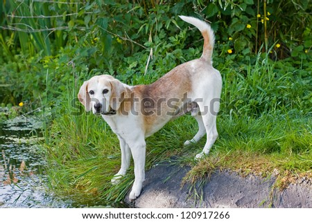 Beagle dog standing by a pond - stock photo