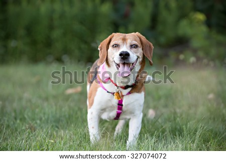 Beagle dog standing looking at the camera