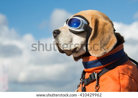 Beagle dog wearing blue flying glasses or goggles, sitting in a bicycle basket on a sunny day - stock photo