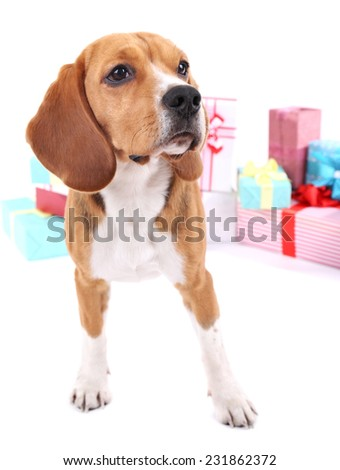 Beagle dog with gifts isolated on white