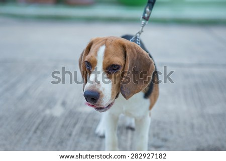 Beagle dogs - stock photo