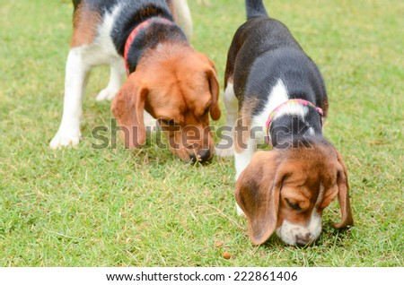 Beagle dogs sniffing in green grass - stock photo