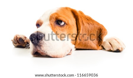 beagle head isolated on a white background - stock photo