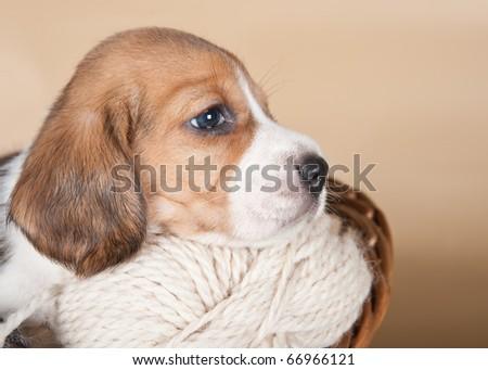 Beagle head-shot in the basket - stock photo