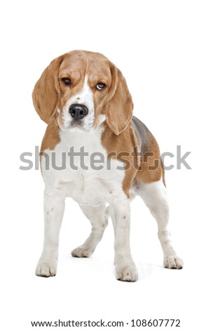 Beagle hound in front of a white background