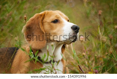 Beagle hunter dog lies quietly in the grass - stock photo