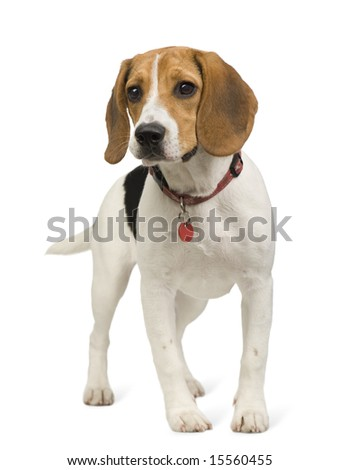 Beagle (8 months) in front of white background - stock photo