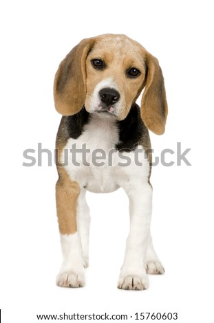 Beagle (3 months) in front of white background