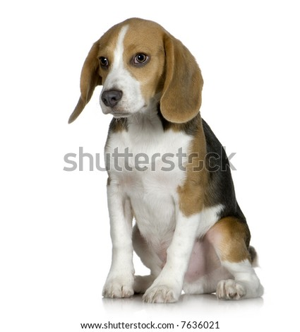Beagle  (5 months) in front of white background - stock photo