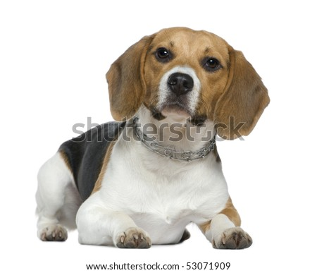 Beagle, 9 months old, lying in front of white background