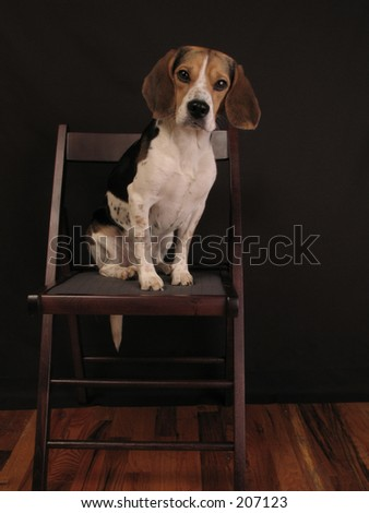 beagle on a chair