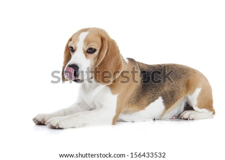 beagle on a white background
