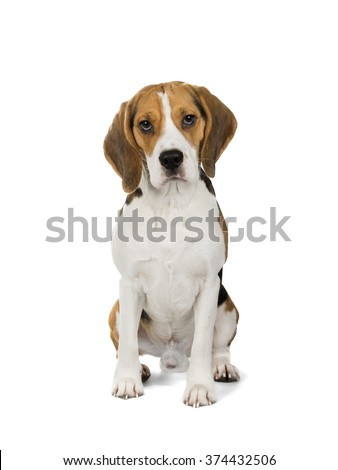Beagle on white background - stock photo