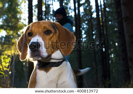 Beagle portrait. Dog in the summer forest with back light. Summer