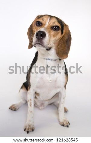 Beagle portrait. Isolated on a white background