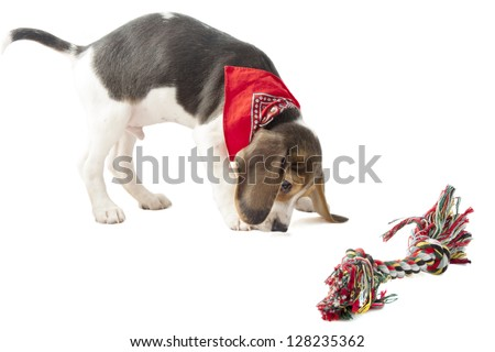 Beagle pup playing with colorful rope isolated over white - stock photo