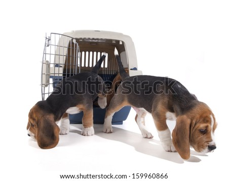 Beagle puppies out of the cage on a white background in studio - stock photo