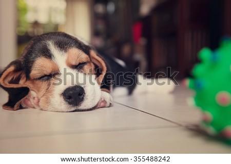 beagle puppy, beagle  puppy sleeping vintage - stock photo