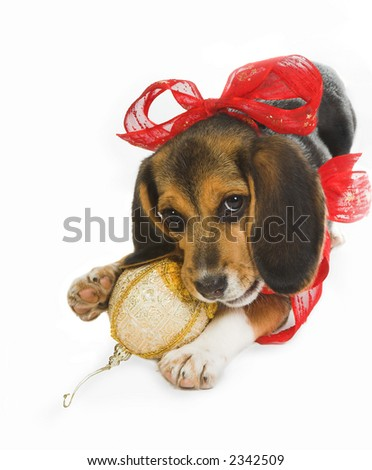 Beagle puppy dog celebrating christmas in its own way - stock photo