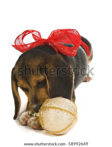 Beagle puppy dog playing with a christmas decoration, wearing a christmas ribbon - stock photo