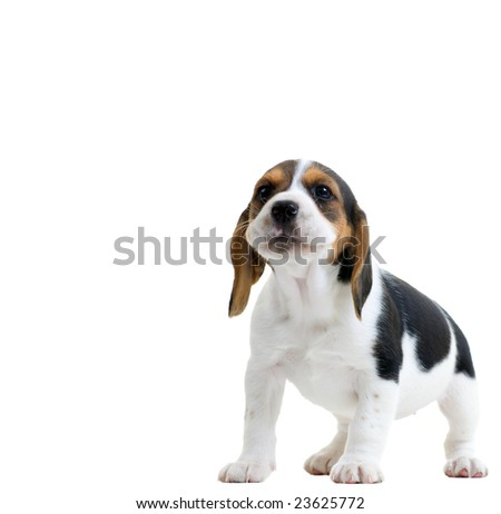 Beagle puppy howling. Isolated on white background. - stock photo