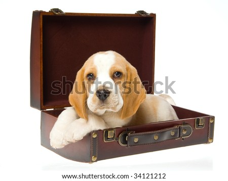 Beagle puppy in suitcase on white background