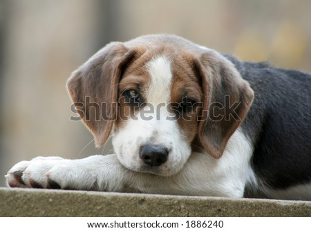 Beagle puppy is lying on the garden wall with his head comfortably resting on his legs and  watching what is happening - stock photo