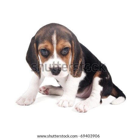 Beagle puppy is tired and sad - stock photo