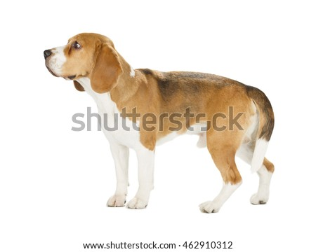 Beagle puppy isolated on white background. Side view, staying, looking away