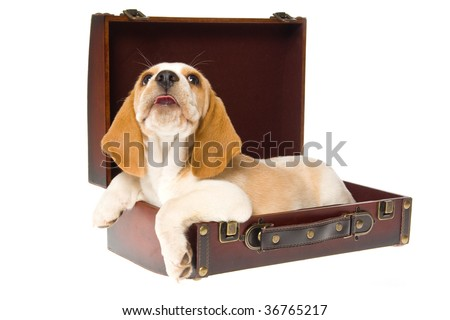 Beagle puppy laughing, in brown suitcase on white background