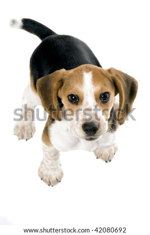 Beagle puppy looking up