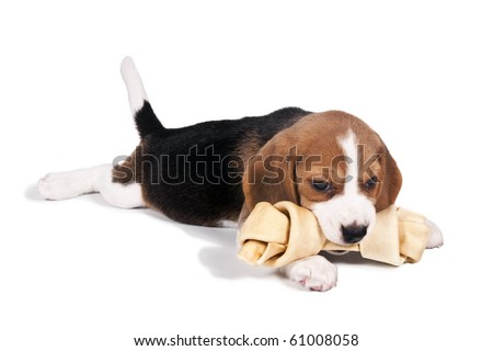 Beagle puppy lying down chewing bone - stock photo
