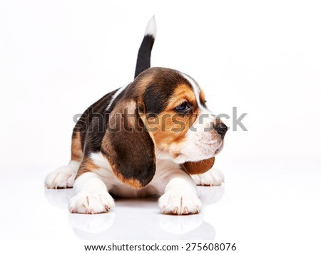 Beagle puppy lying on the white background