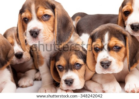 Beagle puppy lying on the white background among other sleeping puppies - stock photo