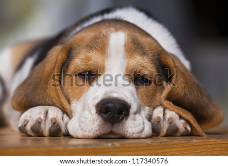 Beagle puppy lying on the wood - stock photo