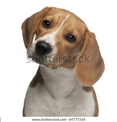 Beagle puppy, 6 months old, in front of white background - stock photo