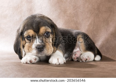 beagle puppy on brown background - stock photo