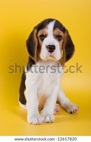 Beagle puppy on yellow background - stock photo