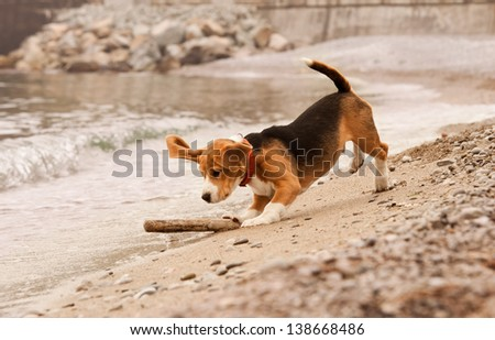 Beagle puppy playing with the stick st the sea side - stock photo