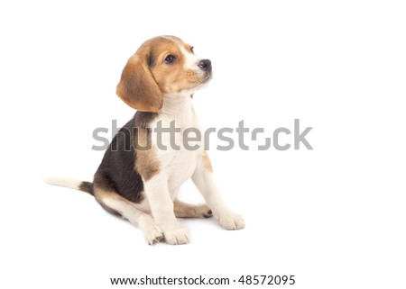 Beagle puppy sitting in front of white background - stock photo