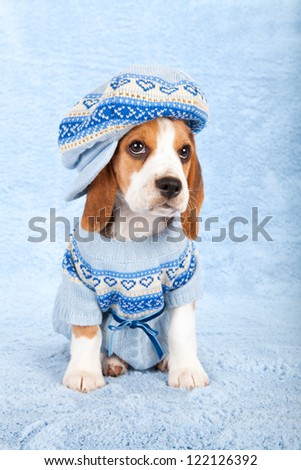 Beagle puppy sitting on blue background wearing blue knitted jersey and large cap hat - stock photo