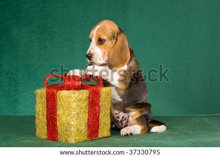 Beagle puppy with Christmas gift on green background